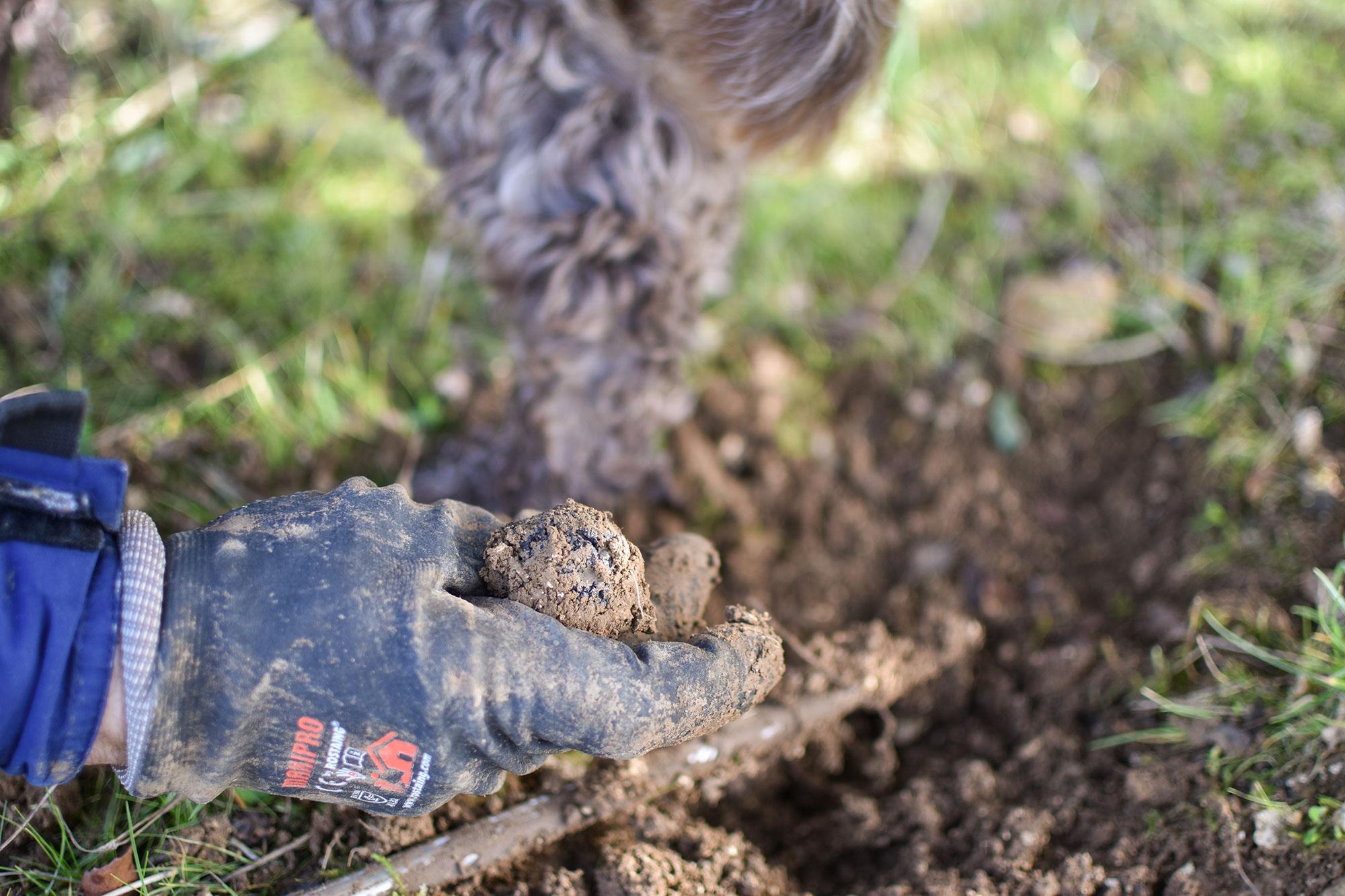 Cavage, découverte d'une truffe