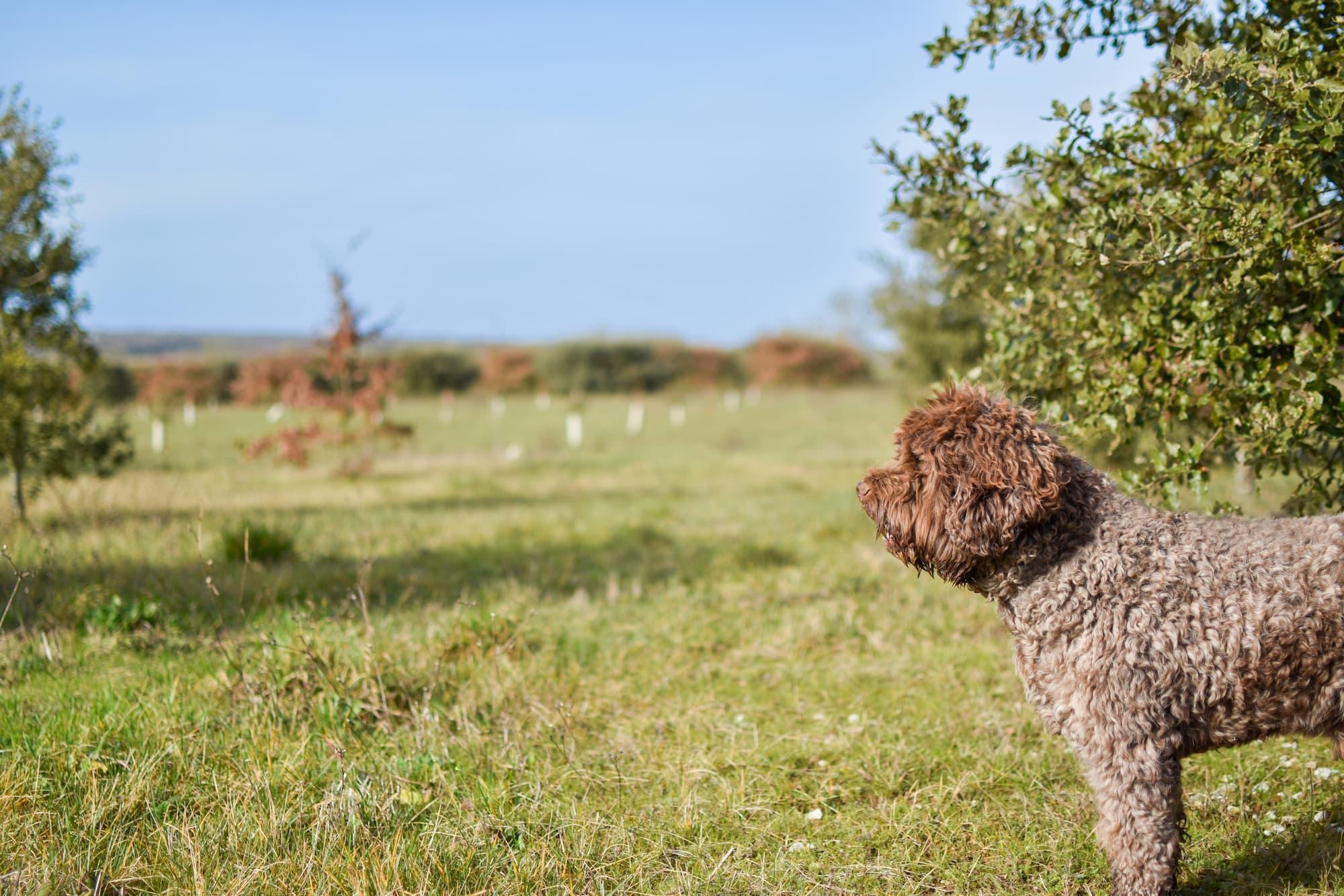 Chien Lagotto sur une truffière en Charente