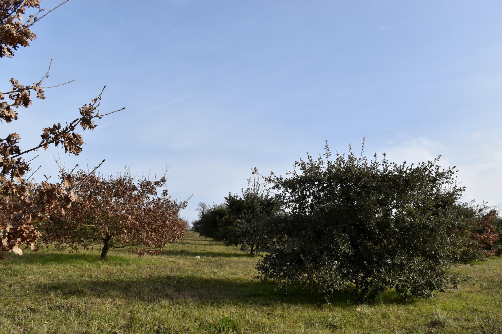 Truffière en Charente sous un grand ciel bleu